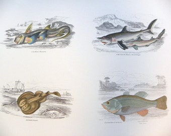 Full Color Illustration Plate of Fish, Black Bass, Pomatome from William Jardine's Naturalists Library -- Copyright free - Double sided