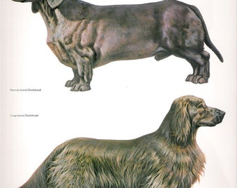Large Vintage Double sided Color Print of a Dashshund and a German Hunt Terrier