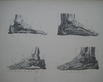 Large 1886 Antique Medical Engraving of the Bones and Muscles of the Foot