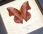 Real Framed Autumn Leaf Mimic Butterfly Shadowbox Display 462