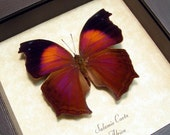 Gift Under 15 Real Framed Buttefly Lilac Mother-of-Pearl or Lilac Beauty 422