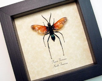 Real Framed Pepsis Formosa Male North America Tarantula Hawk Wasp Shadowbox Display 2660m