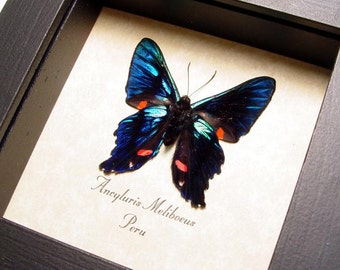 Real Framed Metalmark Butterfly Conservation Quality Display 616