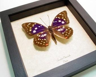 Real Framed Butterfly Sasakia Charonda Purple Japanese Emperor Shadowbox Display 243