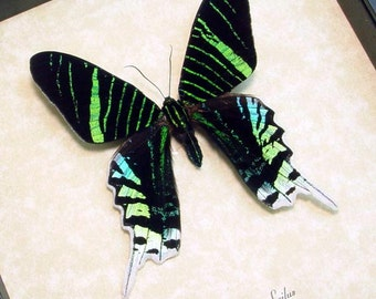 Uranias Leilus Neon Green Day Moth Conservation Framed 419
