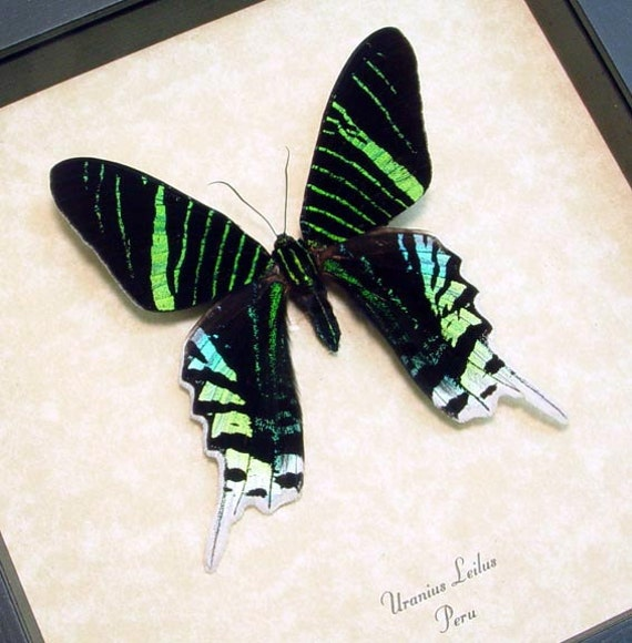 Mother's Day Gift Uranias Leilus Neon Green Day Moth Conservation Framed 419