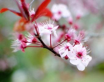 Peeking - Flowering Plum - Pink Flowers - Nature Photography- Fine Art Photograph by Kelly Warren