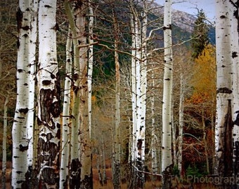 Aspen - Aspen Photography - Nature - Fine Art Photography - Mountains -