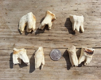 Small Horse Molar Tooth- Real Teeth- One Assorted Tooth