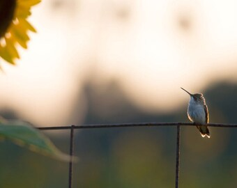 Hummingbird Photo titled Big Flower Little Bird -- Limited Editions in Various Sizes by Hazel Berger