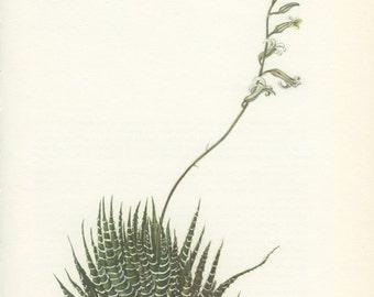 Zebra Plant, Vintage Succulent Print, 8 x 10, Botanical Cacti Plant (123) Haworthia Fasciata, Natural History, Art, 1971