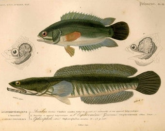 1849 Climbing Perch & Snakehead murrel engraving rare antique french fish print