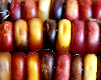 Corn, Smoke Signals Corn Seeds | Heirloom Traditional Indian Corn