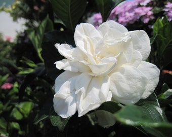 WHITE GARDENIA Dry Oil Body Spray in New Springtime Container  Natural Blendings Most Popular Product Available in 2 sizes Custom Fragrance