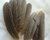 Guinea Fowl Round Tipped Flight Feathers