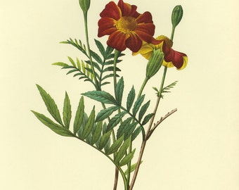 Redoute Print of French Marigold Book Plate SALE!~~ Buy 3 get 1free