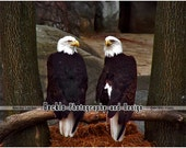 Bald Eagles Perching on Branch photograph