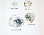 Clams Types Watercolor