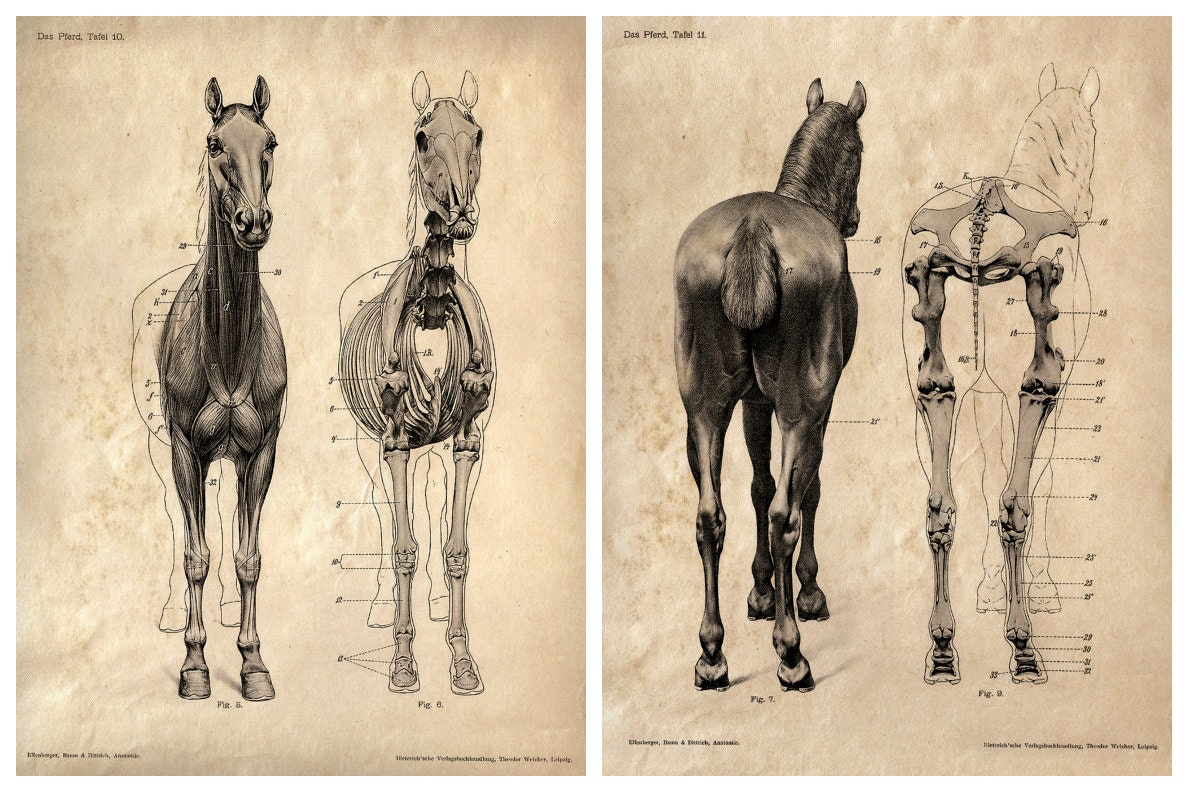 Image result for vintage drawing of horse anatomy