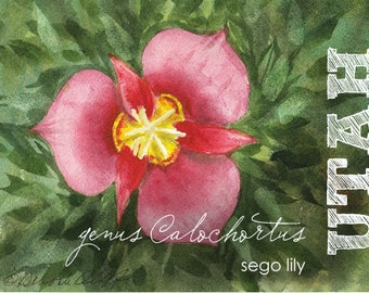 Utah, Watercolor ACEO, State Flowers, Sego Lily, genus Calochortus