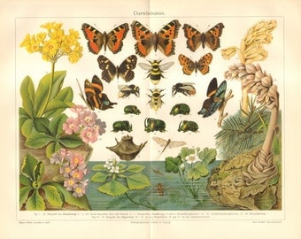 1903 Darwinism, Evolution of Insects - Butterflies, Bees, Beetles Brilliantly Coloured Antique Chromolithograph
