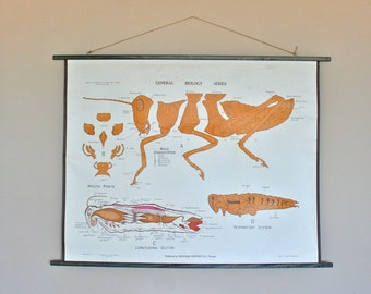 Vintage 1960s Double-Sided School Chart: Grasshopper and Pine
