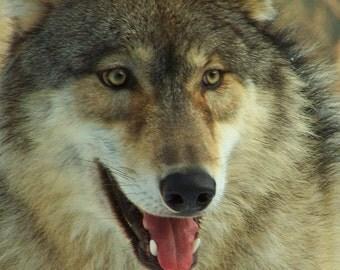 """4x5.5"""" Notecard, Blank Inside, Gray Wolf Portrait"""