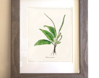 Antique Fern Art Print - 8x10 - Trichomanes spicatum