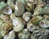 green brown multi-colored turbo's BEACH NAUTICAL SEASHELLS coastal decor crafts bulk