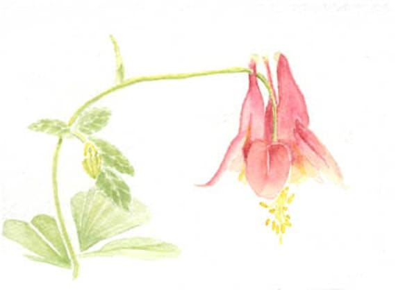 Flowers, pink columbine, 5x7 original watercolor painting, floral nature home & living earthspalette