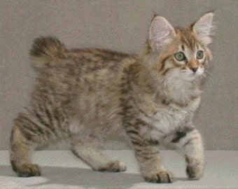 American Bobtail Cat Cross Stitch Pattern 001