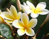 Heirloom 5 Seeds Plumeria alba Yellow White Flower Garden Frangipani Small Tree Shrub T026