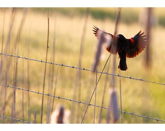 Red winged Blackbird Fine Art Print or Greeting Card