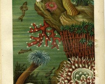 Antique color sea creatures ca.1890 print