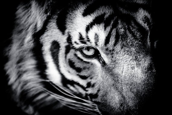 Tiger Fine Art Monochrome Animal Photography Black by BethWold