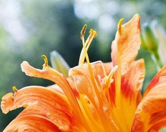 Orange Photo Flower Photo Tiger Lily Photo Signed Art Print