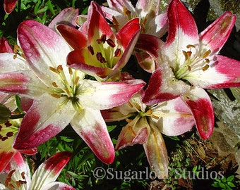 White Red Lily 3 -- Fine Art Floral Photography Print -- Photo, Home Decor, Flowers, Art