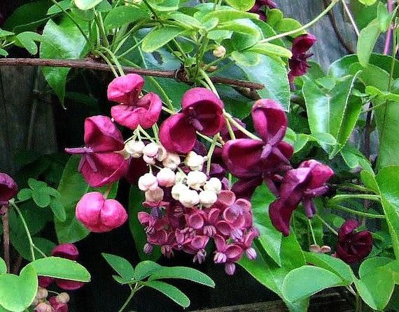 Garden Bush: Chocolate Vine Akebia Quinata 10 Seeds Fragrant By SmartSeeds