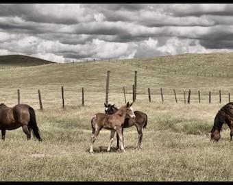 Fine Art Print:  Horses with Foals, Hills, Clouds, Country Fences Landcape 20 x 10 Nursery Art