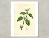 Coffee Plant Botanical Print, 1885 - 8.5x11 Reproduction Antique Print - also available in 13x19 - see listing details