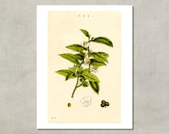 Tea Plant Botanical Print, 1885 - 8.5x11 Reproduction Antique Print - also available in 13x19 - see listing details