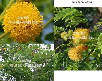 Leucaena retusa 5 Seeds Golden Lead Ball Tree Bonsai Standard - Container Garden Rare Find Limited Supply Gold Flower puffs Drought Tolerant