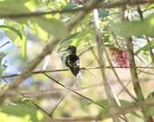 Photo Print - Hummingbird sitting in Butterfly Bush