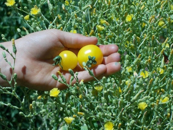 yellow cherry tomatoes - photo #27