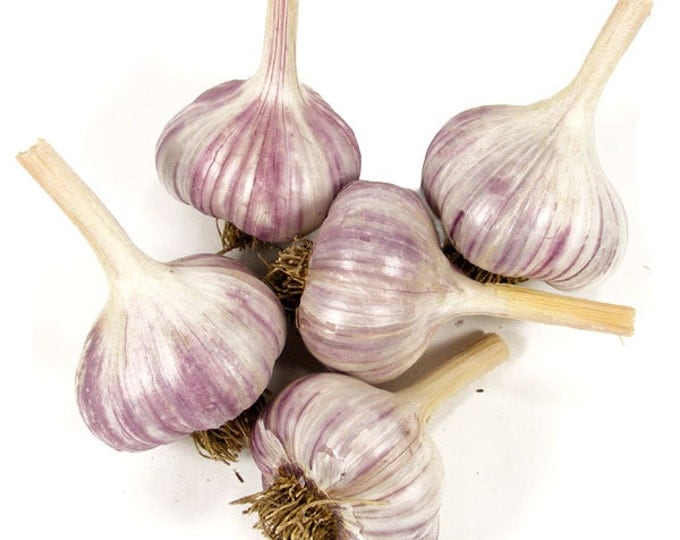 Siberian Red Garlic Bulbs Organic Grown Gourmet 1/2 Pound For Planting or Cooking Fall Shipping