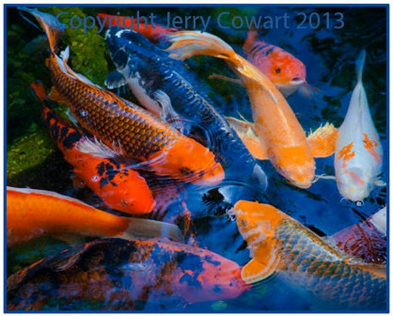 Koi fish photography koi pond fish fine art photography for Colorful pond fish