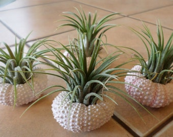 The ORIGINAL set of four Guatemala air plants  in  sea urchin shells