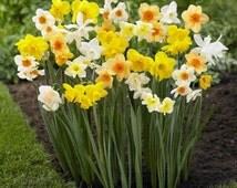 Daffodil Bulbs - Narcissus Assorted ,Long lasting~Trumpet Daffodil Mix Bulb-Fall Planting