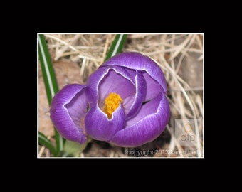 Purple Crocus with Pollen, Flower Photography Print, 8x10 matted to 11x14, or 5x7 matted to 8x10, Home Décor, Wall Art