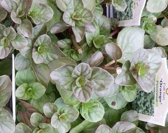 Fragrant Orange Scented Mint Starter Plant